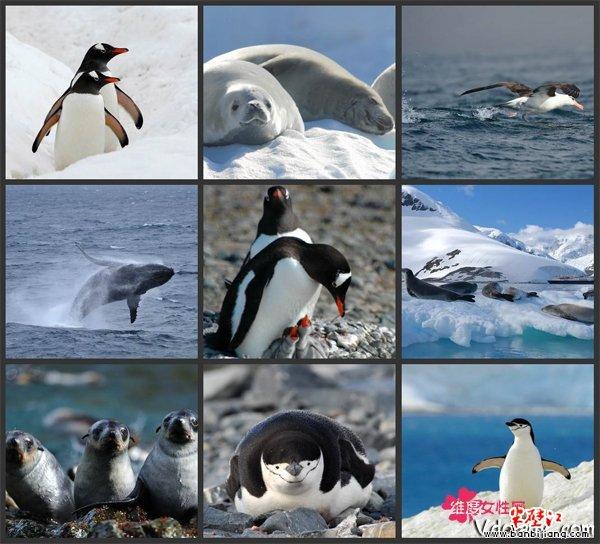 企鹅是南极的土着居民