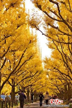 银杏树,又叫白果树,公孙树,最早出现于3.